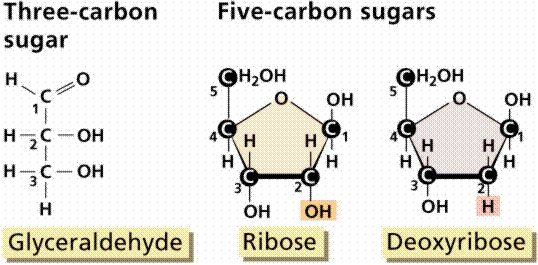 Deoxyribose Five Carbon Sugar Found In Nucleotides Of Dna Ribose Sugar Found In Nucleotides Of Rna And In Atp