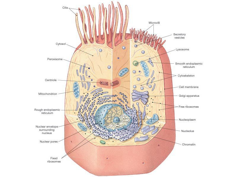 Cytoskeleton In A Plant Cell Diagram